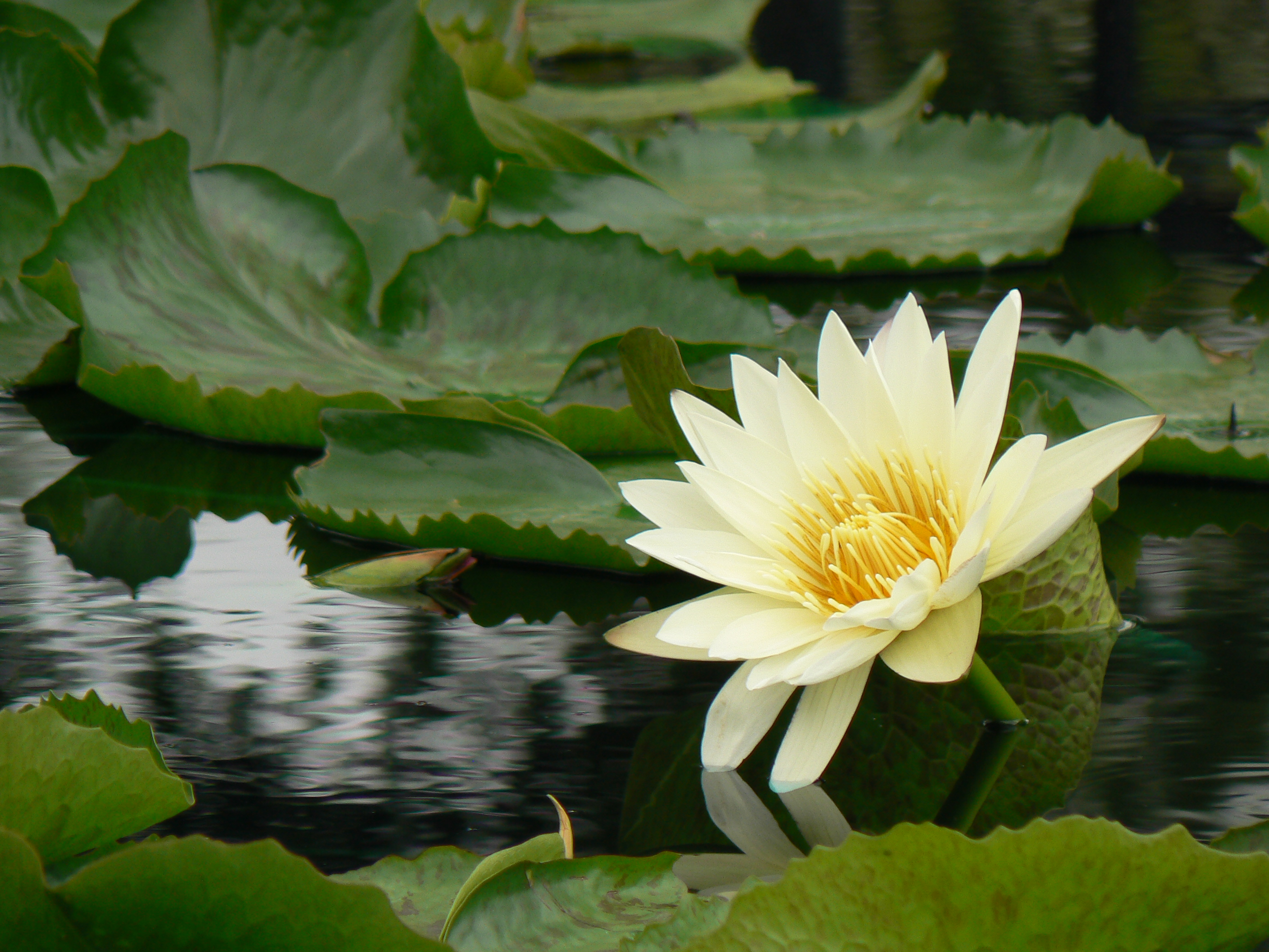 Water Lily in Pond Garden